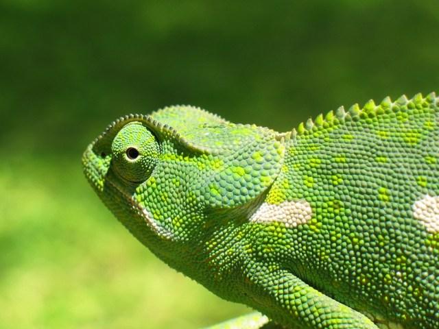 Imagen tomada de: http://www.forodefotos.com/fotos-de-animales-salvajes/4208-fotos-de-camaleon.html